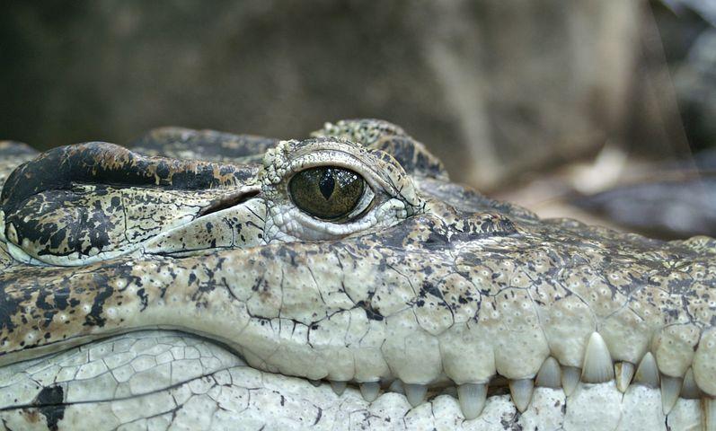 crocodile-66886__480